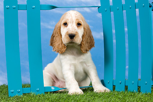PUP 10 JE0040 01 © Kimball Stock English Cocker Spaniel Puppy Sitting On Lawn By Blue Fence