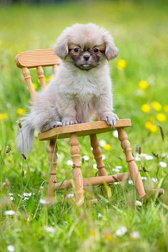 PUP 10 JE0044 01 © Kimball Stock Tibetan Spaniel Puppy Sitting On Chair In Grass