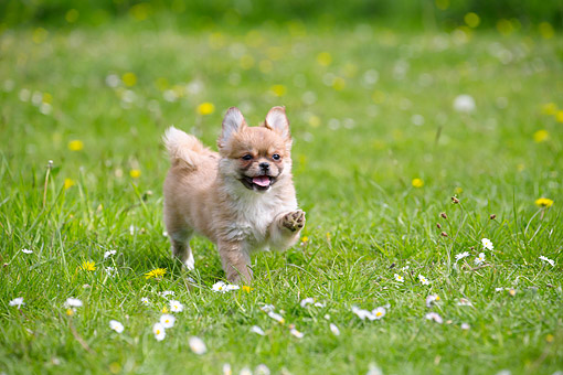 PUP 10 JE0045 01 © Kimball Stock Tibetan Spaniel Puppy Prancing Gleefully On Grass
