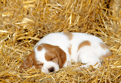 PUP 10 KH0003 01 © Kimball Stock Brittany Spaniel Puppy Sleeping In Hay