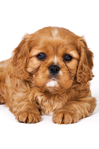 PUP 10 MH0001 01 © Kimball Stock Close-Up Of Cavalier King Charles Spaniel Puppy Laying On White Seamless