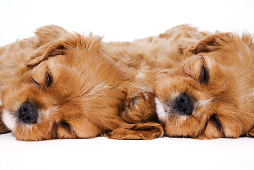 PUP 10 MH0002 01 © Kimball Stock Close-Up Of Cavalier King Charles Spaniel Puppies Sleeping On White Seamless