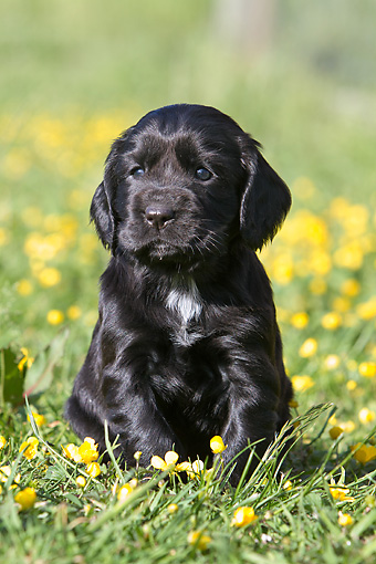 PUP 10 NR0028 01 © Kimball Stock English Cocker Spaniel Puppy Sitting On Grass And Yellow Wildflowers