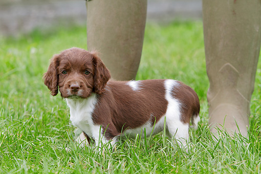 PUP 10 NR0030 01 © Kimball Stock English Springer Spaniel Puppy Standing On Grass By Owner's Feet
