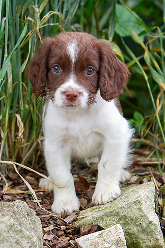 PUP 10 NR0032 01 © Kimball Stock English Springer Spaniel Puppy Standing In Tall Grass