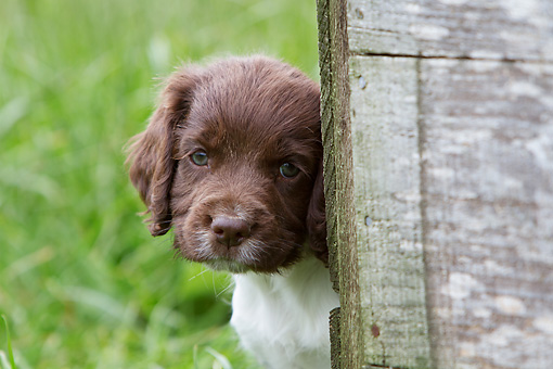 PUP 10 NR0033 01 © Kimball Stock Close-Up Of English Springer Spaniel Puppy In Grass