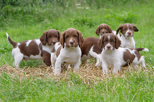 PUP 10 NR0034 01 © Kimball Stock Group Of English Springer Spaniel Puppies In Grass