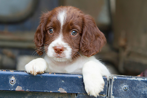 PUP 10 NR0036 01 © Kimball Stock Close-Up Of English Springer Spaniel Puppy Leaning On Truck Bed