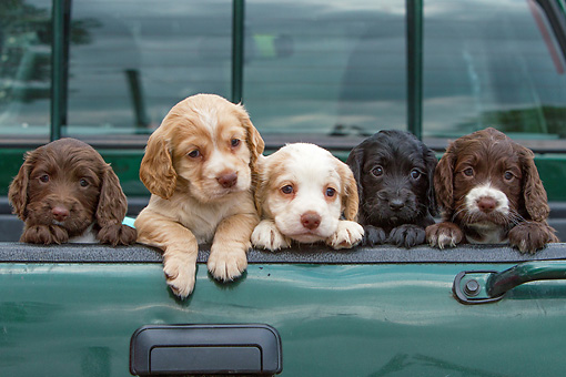 PUP 10 NR0038 01 © Kimball Stock English Cocker Spaniel Puppies Leaning On Truck Bed