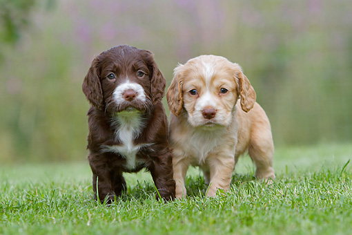 PUP 10 NR0041 01 © Kimball Stock Two English Cocker Spaniel Puppies Standing On Lawn