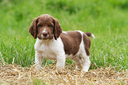 PUP 10 NR0043 01 © Kimball Stock English Springer Spaniel Puppy Standing On Hay In Grass