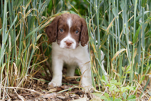 PUP 10 NR0044 01 © Kimball Stock English Springer Spaniel Puppy Standing In Tall Grass