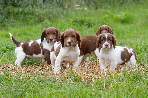 PUP 10 NR0045 01 © Kimball Stock Group Of English Springer Spaniel Puppies Standing On Hay In Grass