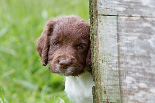 PUP 10 NR0046 01 © Kimball Stock Close-Up Of English Springer Spaniel Puppy Peeking Out From Behind Fence