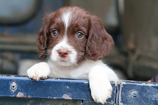 PUP 10 NR0047 01 © Kimball Stock Close-Up Of English Springer Spaniel Puppy In Truck Bed