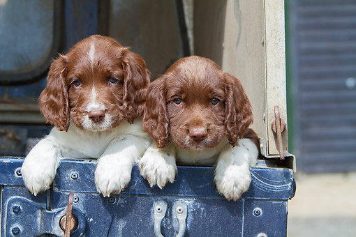 PUP 10 NR0049 01 © Kimball Stock Two English Springer Spaniel Puppies In Truck Bed