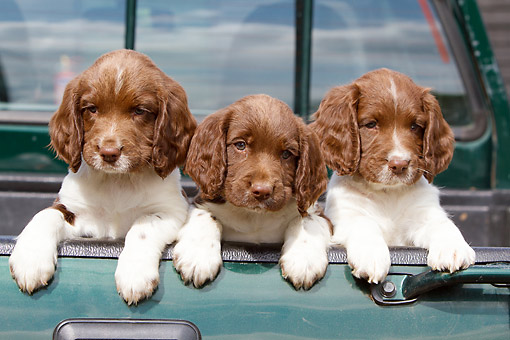 PUP 10 NR0050 01 © Kimball Stock Three English Springer Spaniel Puppies In Truck Bed