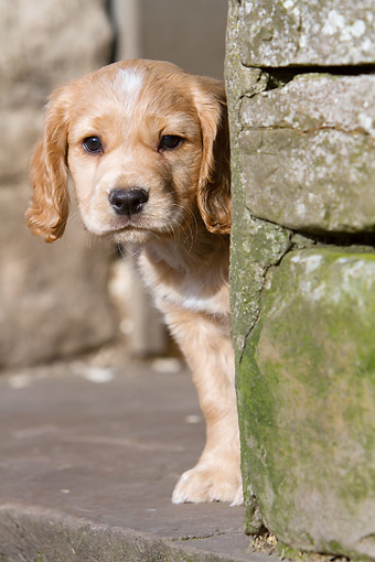 PUP 10 NR0055 01 © Kimball Stock English Cocker Spaniel Puppy Peeking Around Corner