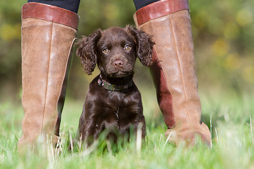 PUP 10 NR0057 01 © Kimball Stock English Cocker Spaniel Puppy Sitting In Grass With Person In Boots