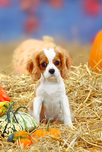 PUP 10 PE0002 01 © Kimball Stock Cavalier King Charles Spaniel Puppy Sitting In Hay By Pumpkins And Gourds
