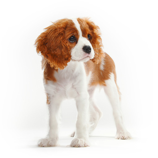 PUP 10 PE0004 01 © Kimball Stock Cavalier King Charles Spaniel Puppy Standing On White Seamless