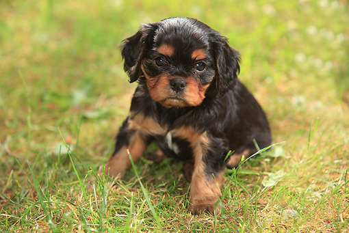 PUP 10 PE0008 01 © Kimball Stock Cavalier King Charles Spaniel Puppy Sitting On Grass
