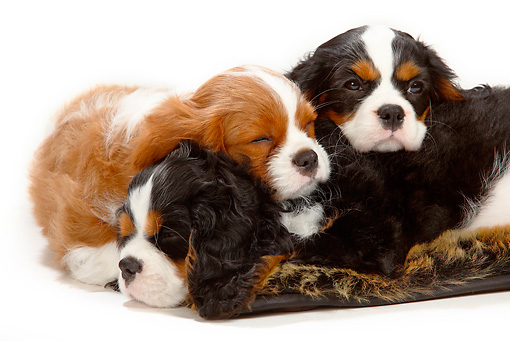 PUP 10 PE0009 01 © Kimball Stock Three Cavalier King Charles Spaniel Puppies Sleeping On White Seamless