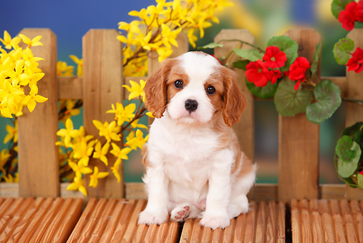 PUP 10 PE0010 01 © Kimball Stock Cavalier King Charles Spaniel Puppy Sitting On Wooden Deck By Flowers