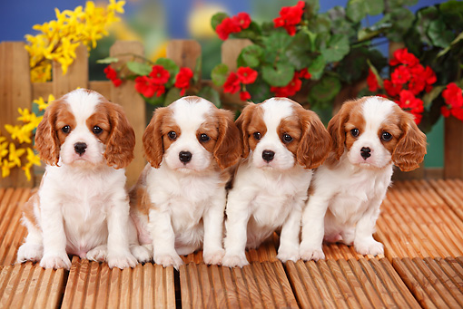 PUP 10 PE0011 01 © Kimball Stock Four Cavalier King Charles Spaniel Puppies Sitting On Wooden Deck By Flowers