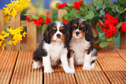 PUP 10 PE0012 01 © Kimball Stock Two Cavalier King Charles Spaniel Puppies Sitting On Wooden Deck By Flowers