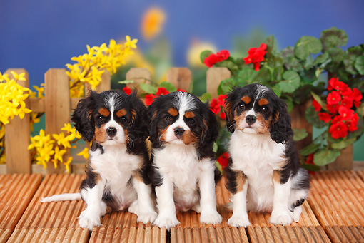 PUP 10 PE0013 01 © Kimball Stock Three Cavalier King Charles Spaniel Puppies Sitting On Wooden Deck By Flowers