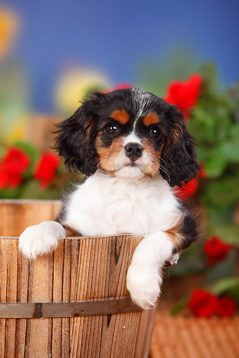 PUP 10 PE0014 01 © Kimball Stock Cavalier King Charles Spaniel Puppy Sitting In Barrel By Red Flowers