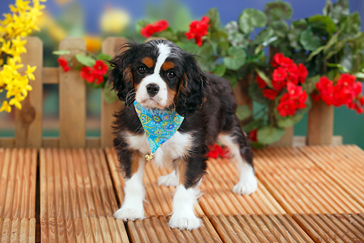 PUP 10 PE0015 01 © Kimball Stock Cavalier King Charles Spaniel Puppy Standing On Deck By Flowers