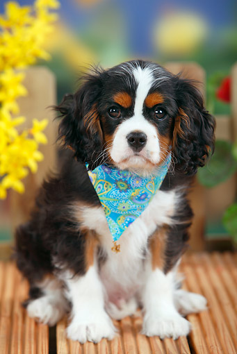 PUP 10 PE0016 01 © Kimball Stock Cavalier King Charles Spaniel Puppy Sitting On Deck By Flowers
