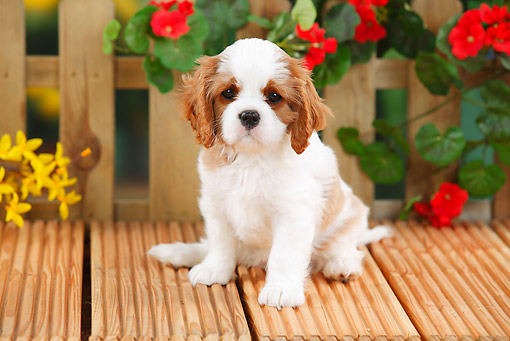 PUP 10 PE0017 01 © Kimball Stock Cavalier King Charles Spaniel Puppy Sitting On Deck By Flowers
