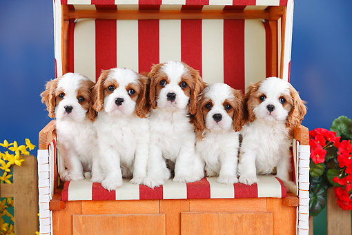 PUP 10 PE0018 01 © Kimball Stock Five Cavalier King Charles Puppies Sitting On Bench