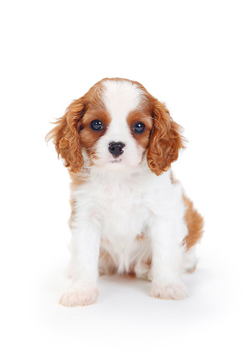 PUP 10 PE0019 01 © Kimball Stock Cavalier King Charles Spaniel Puppy Sitting On White Seamless