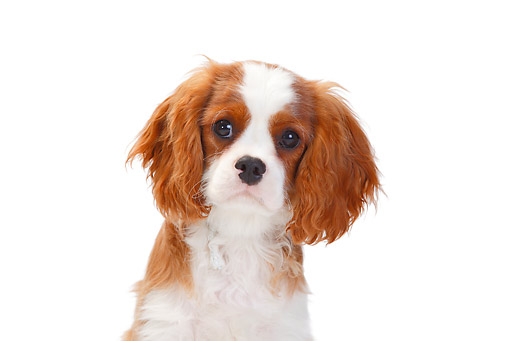 PUP 10 PE0021 01 © Kimball Stock Head Shot Of Cavalier King Charles Spaniel On White Seamless