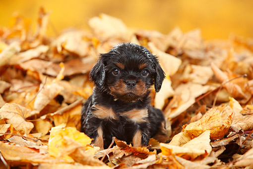 PUP 10 PE0022 01 © Kimball Stock Cavalier King Charles Puppy Sitting In Autumn Leaves