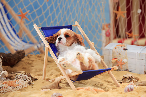 PUP 10 PE0026 01 © Kimball Stock Cavalier King Charles Spaniel Puppy Sitting In Beach Chair