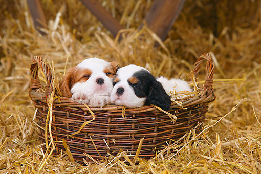 PUP 10 PE0027 01 © Kimball Stock Two Cavalier King Charles Spaniel Puppies Resting In Wicker Basket On Hay