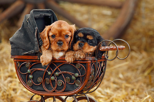 PUP 10 PE0029 01 © Kimball Stock Two Cavalier King Charles Spaniel Puppies Sitting In Miniature Baby Carriage On Hay