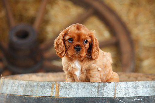 PUP 10 PE0030 01 © Kimball Stock Cavalier King Charles Spaniel Puppy Sitting On Barrel