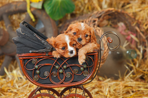 PUP 10 PE0031 01 © Kimball Stock Two Cavalier King Charles Spaniel Puppies Sitting In Miniature Baby Carriage On Hay