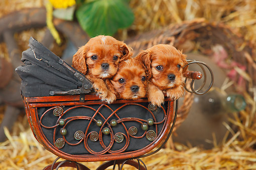 PUP 10 PE0032 01 © Kimball Stock Three Cavalier King Charles Spaniel Puppies Sitting In Miniature Baby Carriage On Hay
