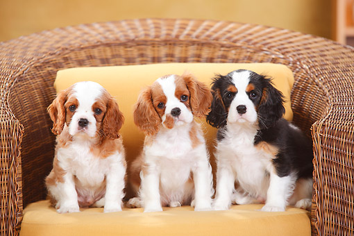 PUP 10 PE0033 01 © Kimball Stock Cavalier King Charles Spaniel Puppies Sitting In Armchair