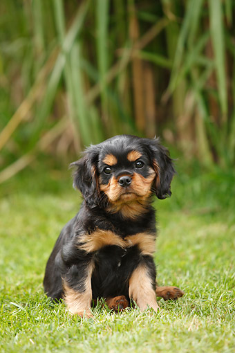 PUP 10 PE0035 01 © Kimball Stock Cavalier King Charles Spaniel Puppy Sitting In Grass