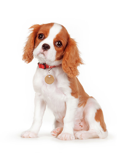 PUP 10 RK0091 01 © Kimball Stock Cavalier King Charles Spaniel Puppy Sitting On White Seamless