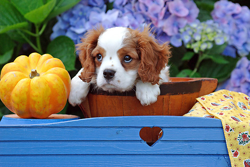 PUP 10 SJ0001 01 © Kimball Stock Cavalier King Charles Spaniel Puppy Sitting In Bowl By Flowers And Pumpkin