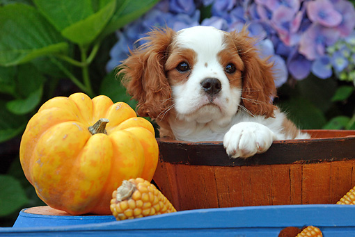 PUP 10 SJ0002 01 © Kimball Stock Cavalier King Charles Spaniel Puppy Sitting In Bowl By Flowers And Pumpkin